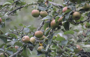 Stavs Orchard Autumn 2019